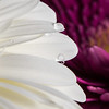 White Gerbera Daisy with Water Drops