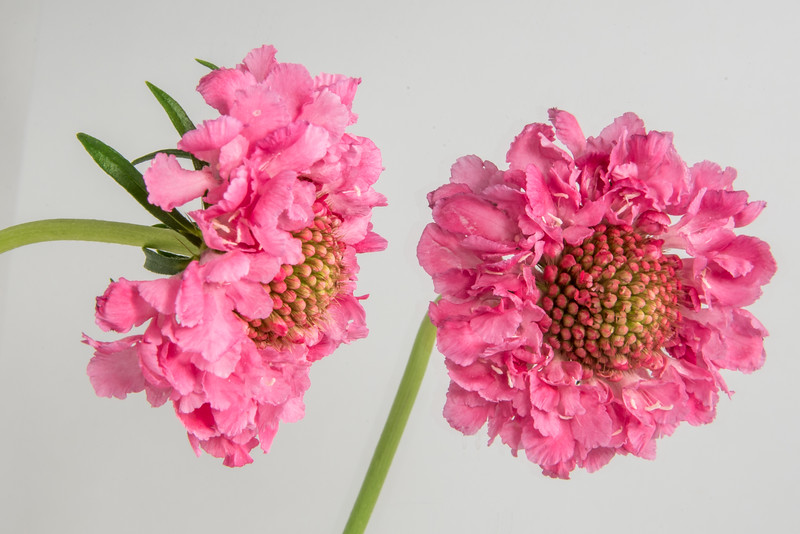 Pink Scabiosa Reflected on White