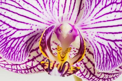 "Orchid ""bird"""