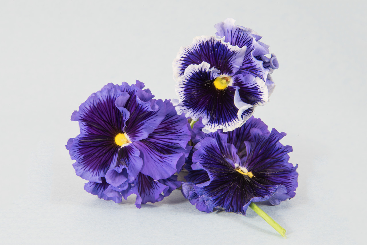 Three Purple Pansies