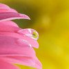 Pink Gerbera Daisy with Reflected Flower