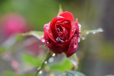 Raindrops & Rose