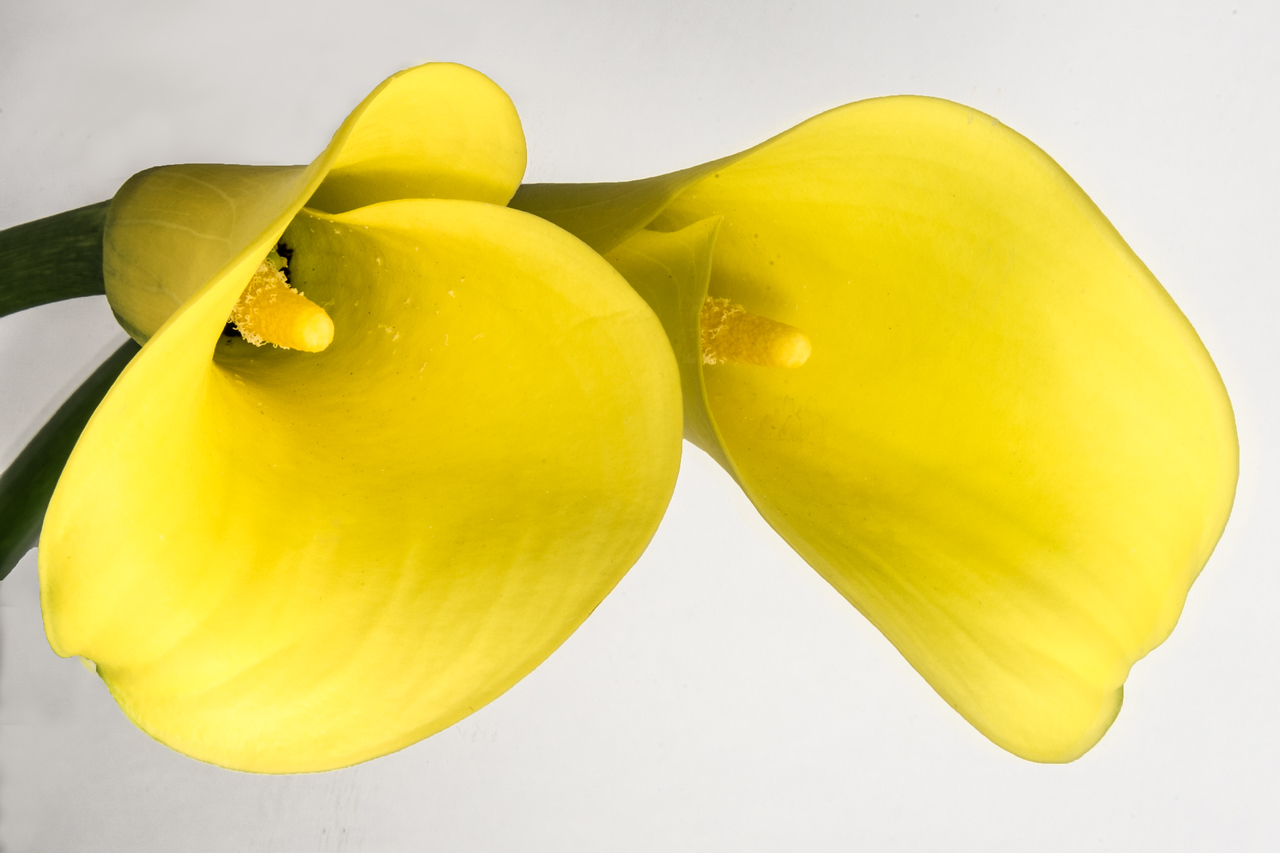 Yellow Calla Lily Reflected on White