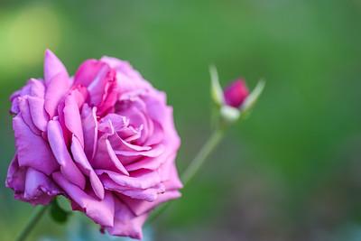 Macro2020-Rose3