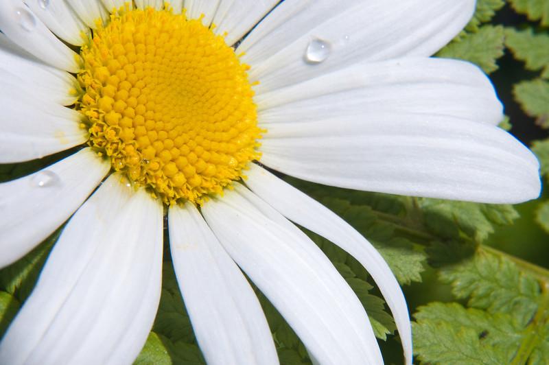 Dew still hangs on a daisy.