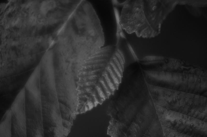 A young alder leaf.