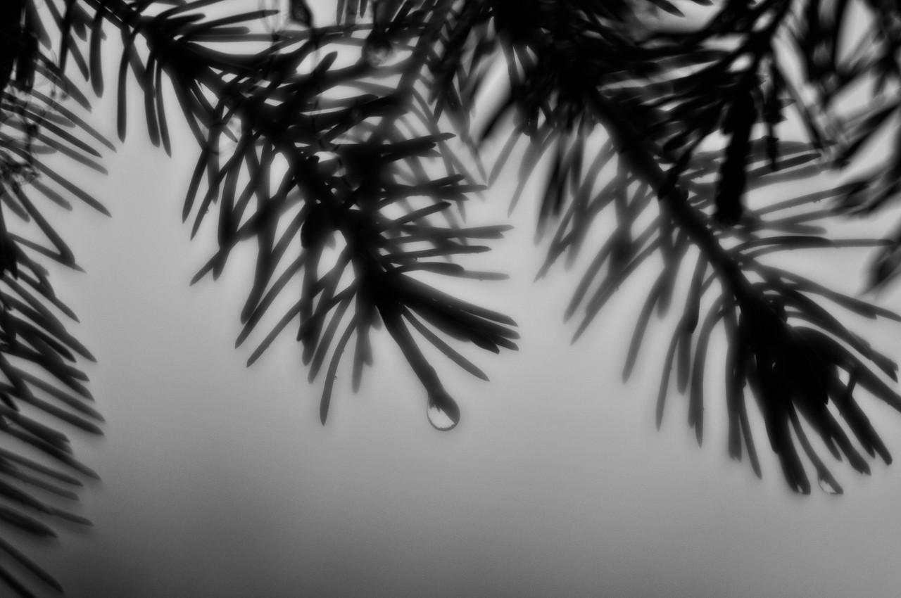 A sad spruce on a rainy day.