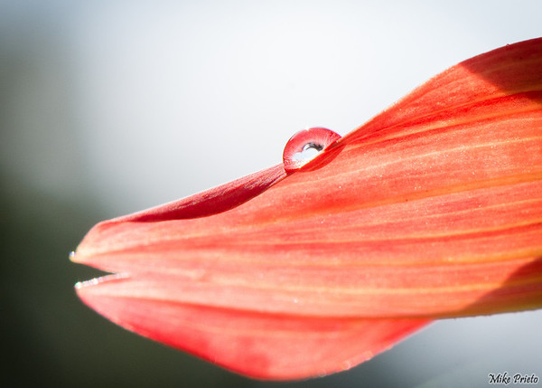 Drop on the Petal