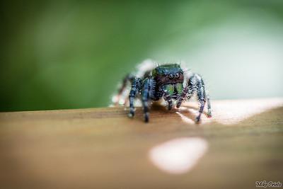 Backyard Resident:  Spider 1
