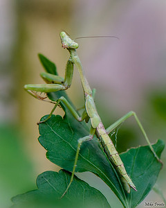 Backyard Resident: Praying Mantis