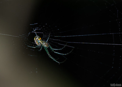 Backyard Resident: Spider 3