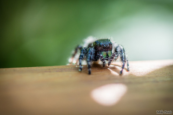 Backyard Resident:  Spider 1