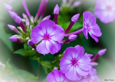 Flower of The Shakespeare Garden: 2