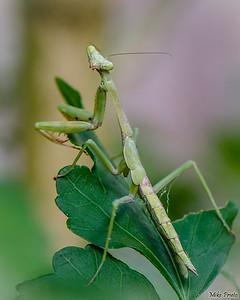 Backyard Resident: Praying Mantis