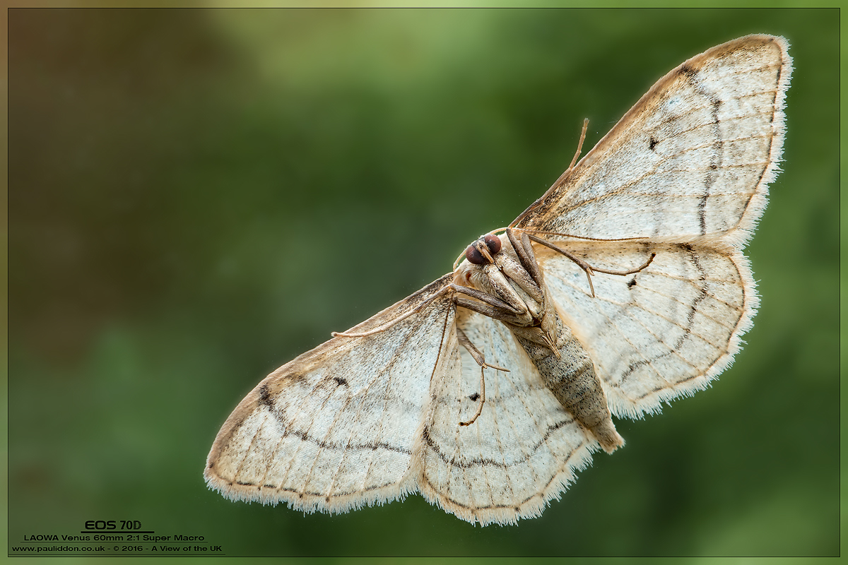 IMAGE: https://photos.smugmug.com/Macro-Gallery/i-KxZG49t/0/O/1200moth..jpg
