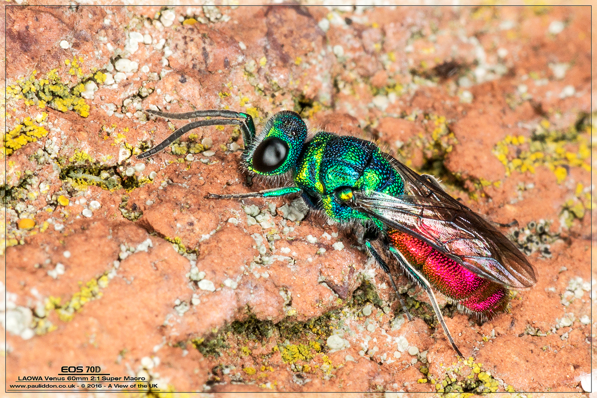 IMAGE: https://photos.smugmug.com/Macro-Gallery/i-gQ46MDN/0/O/1200rubywasp.jpg