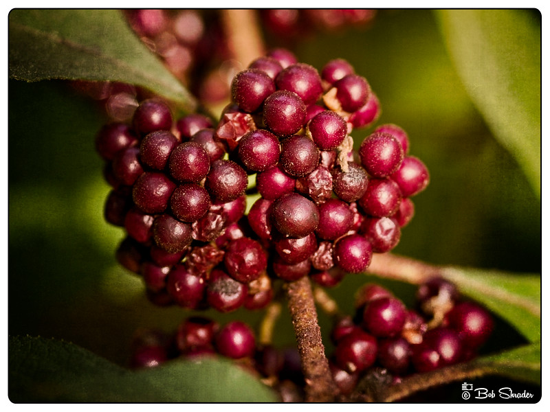 American Beautyberry Fruit