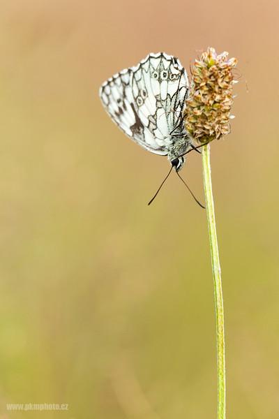 Okáč bojínkový - Marbled White (Melanargia galathea)
