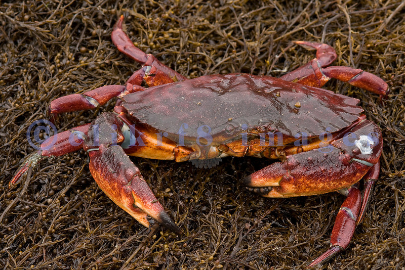 In June 2008, Puget Sound had extreme low tides at around -4 feet. These tides uncovered creatures that live on the sea floor such as this rock crab.