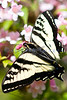 A swallowtail butterfly sips on the nectar of the blossoms of a beautybush.
