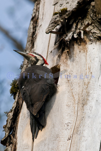 This pileated woodpecker is preparing a hole in a tree as a nest. Despite being located near a popular dog park, he didn't seem to be bothered by people and dogs.