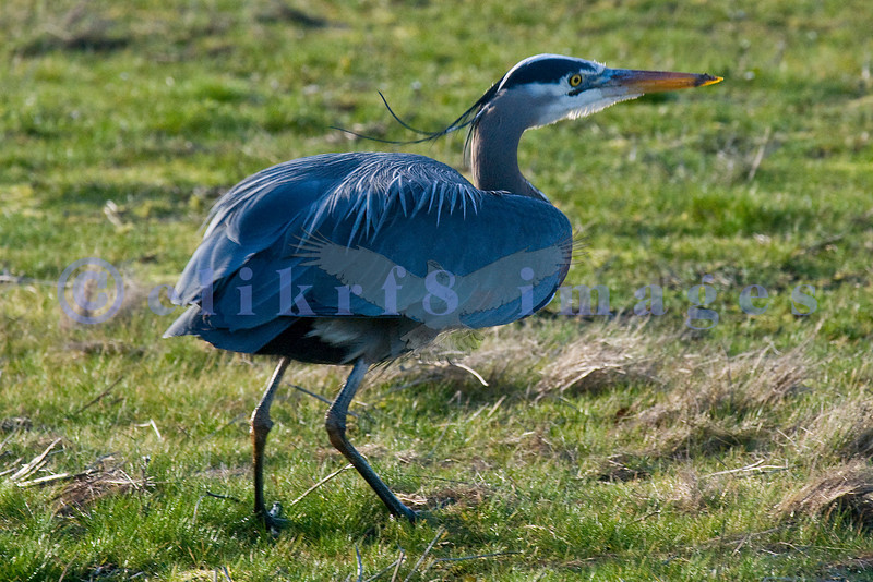 This heron is looking for lunch on soon to be plowed fields in the rural Skagit Valley.