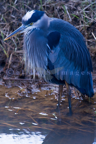 In the dikes of rural Skagit Valley, the Great Blue heron may be found stalking his next meal.