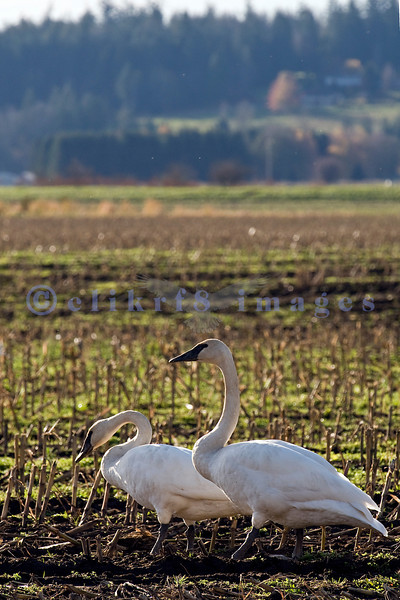 Trumpeter swans take in a break in the Skagit Valley farmlands of Washington state.