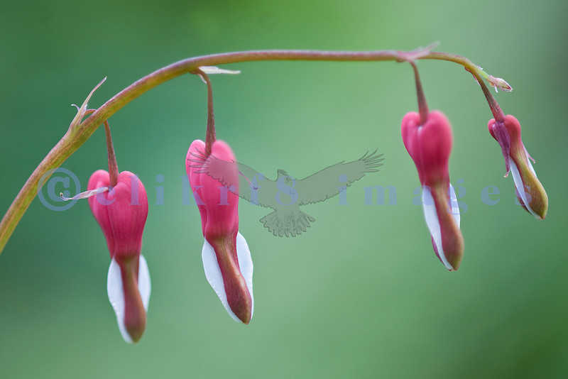 Blooming from April until September in my garden, Dicentra exima 'Luxuriant' attracts hummingbirds.