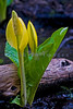 During March and April, the skunk cabbage make its appearance in the swamps (wetlands) in the Pacific Northwest.