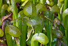 The darlingtonia california, a carnivorous plant, lives in boggy areas along Oregon's coast. This group survives in the Oregon state park Darlingtonia Wayside five miles north of Florence.