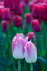 The  famous Skagit Valley Tulip Festival is a short drive away south on Interstate 5. The field we chose had blooms in red, pink and white bi-colors, purple and dark pink.