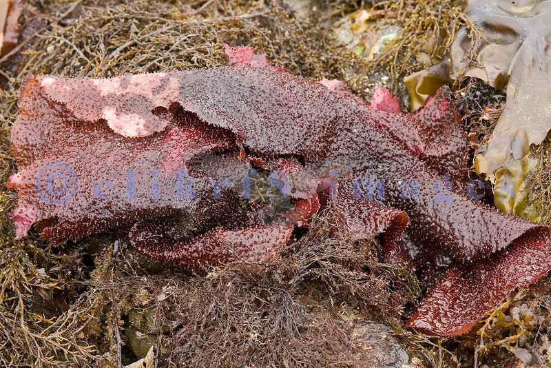In June of 2008, Puget Sound experienced some unusually low tides. This seaweed is what was exposed.