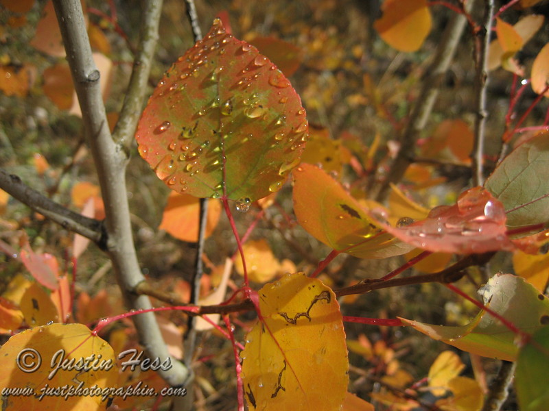 Water Droplets on Aspen Leaves