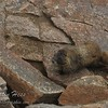 Yellow-bellied Marmot at Forest Canyon Overlook.