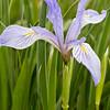 Whole Iris