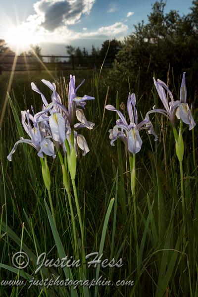 Sunset Iris