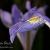 Iris Petal Bokeh