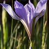 Iris Opened