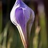 Iris Opening