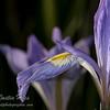 Iris Flower Bokeh