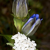 Gentian and Yarrow