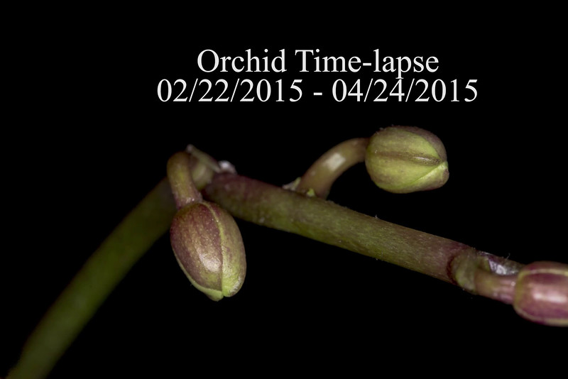 Orchid Time-lapse