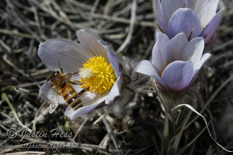 Bee on the Pasque.