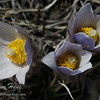 Pasque Flowers