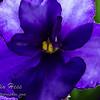 African Violet Petal Edge