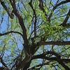 Velvet Mesquite Tree