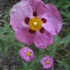 Orchid Rock Rose
