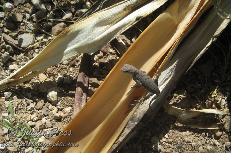 Whip Tail Lizard?