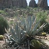 Giant Agaves and Golden Barrels in front on 'Magma Ridge'